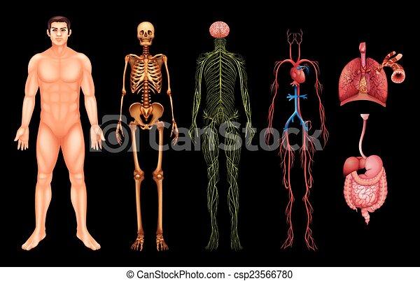 kropp, system, mänsklig - csp23566780
