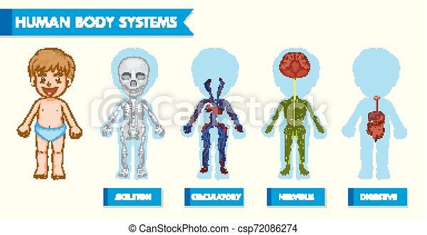 kropp, vetenskaplig, läkar illustration, system, mänsklig, barn - csp72086274