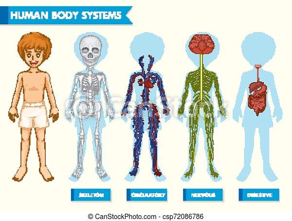 kropp, vetenskaplig, läkar illustration, system, mänsklig - csp72086786