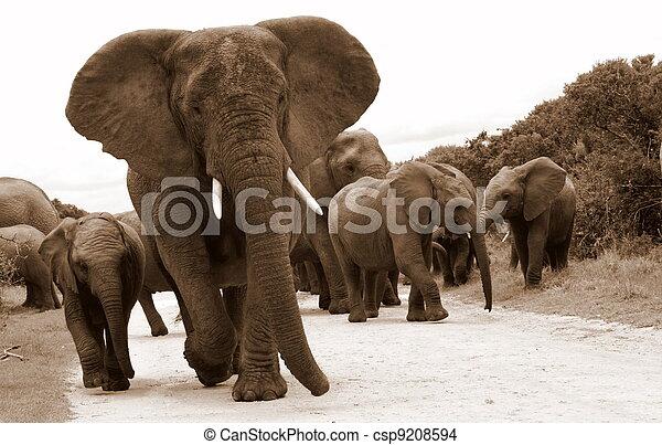 kudde, olifanten - csp9208594