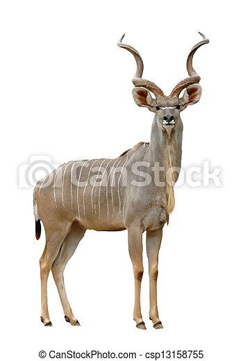 kudu - csp13158755