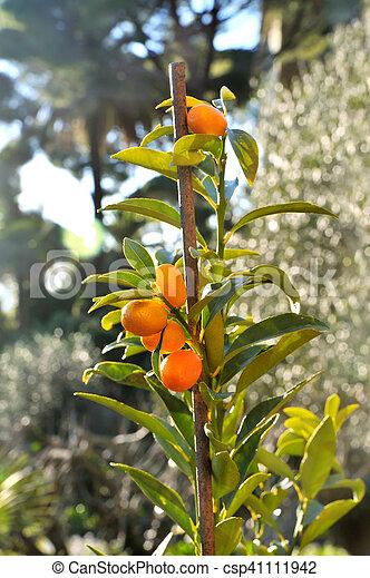 Kumquat Plant With Fruits Small Kumquat Tree With Orange Fresh Fruits