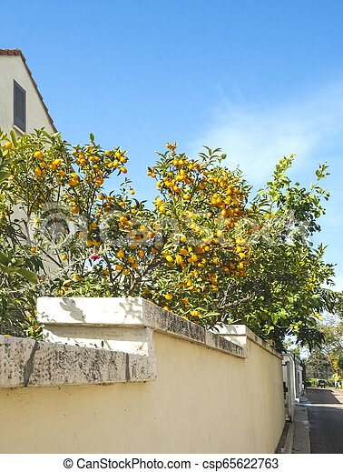 Kumquats Are A Group Of Small Fruit Bearing Trees In The Flowering