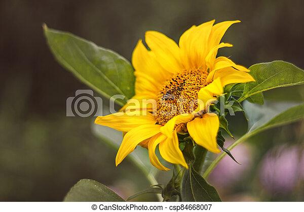 květ, mladický list, slunečnice, opylit, pracovní skupina - csp84668007