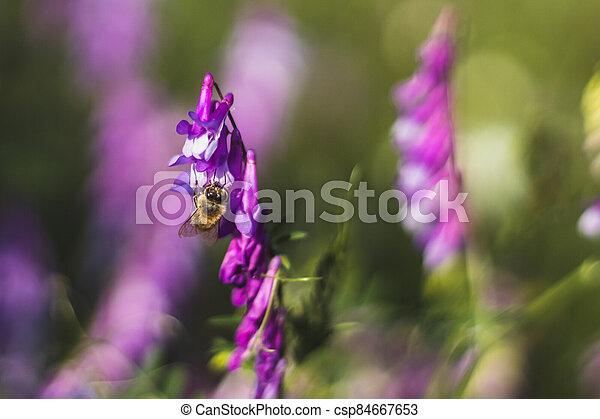 květ, nach, včela, vicia, bojiště, květiny - csp84667653