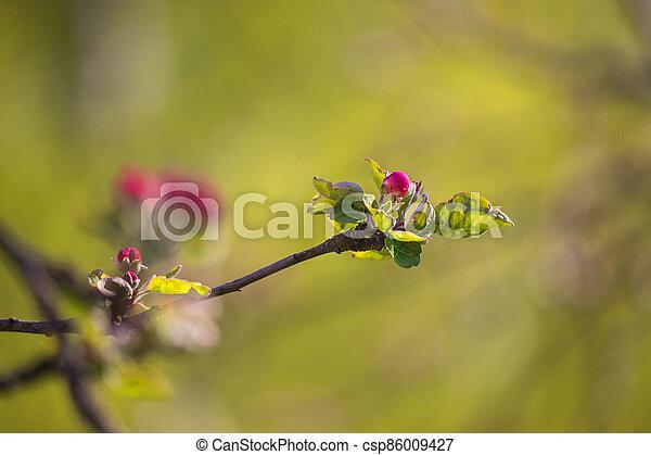 kvetoucí, jablko, rašit, strom, virgule - csp86009427