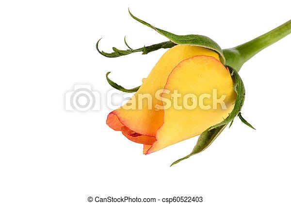 kwiat, róża, odizolowany, żółte tło, biały - csp60522403