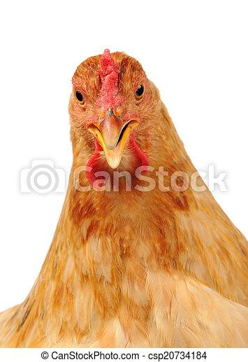 kylling, åbn, hvid baggrund, beak - csp20734184