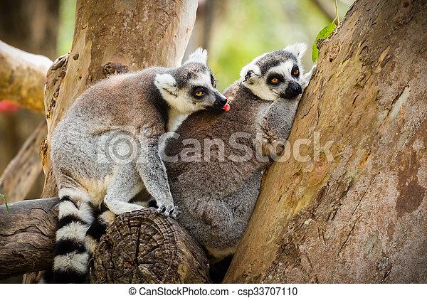 Lemur sentado en un árbol. - csp33707110