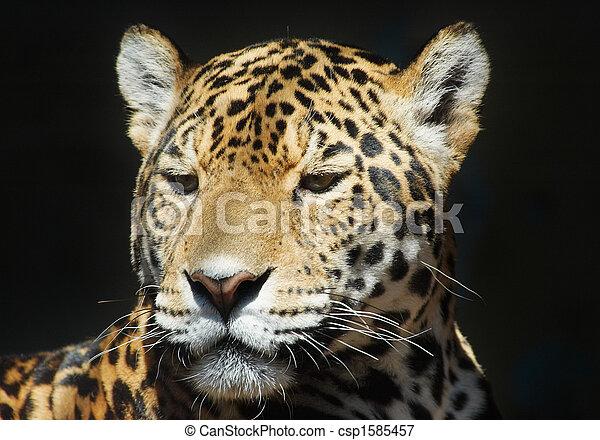 léopard - csp1585457