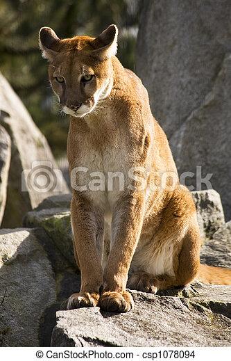 Cougar Sucht