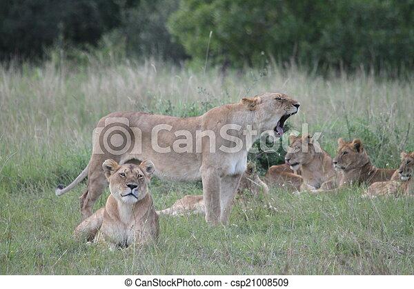 løve familie