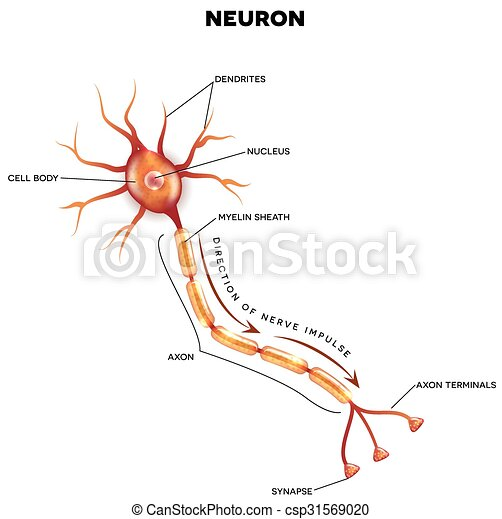Labeled diagram of the neuron, nerve cell that is the main part of ...