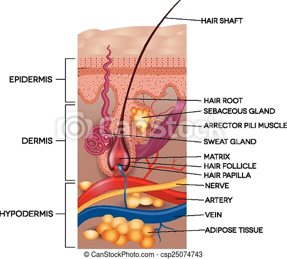 Labeled Skin And Hair Anatomy Detailed Medical Illustration