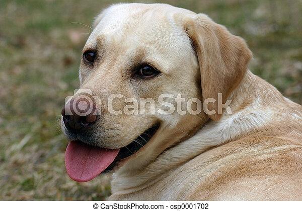 labrador dog - csp0001702
