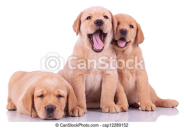labrador, drei, hunden, junger hund, apportierhund - csp12289152