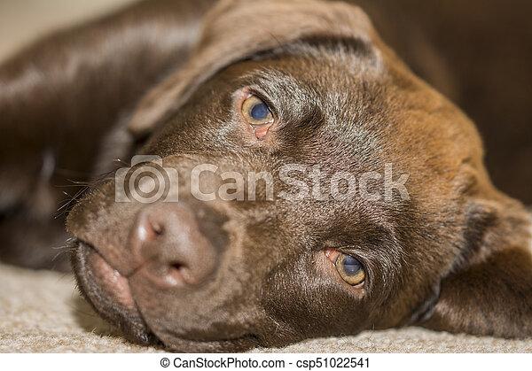 Labrador, famille, vue, chocolat, museau, chiot, mensonge, salle. 3 ...