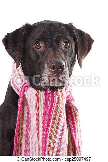 Labrador in a pink scarf - csp25097497