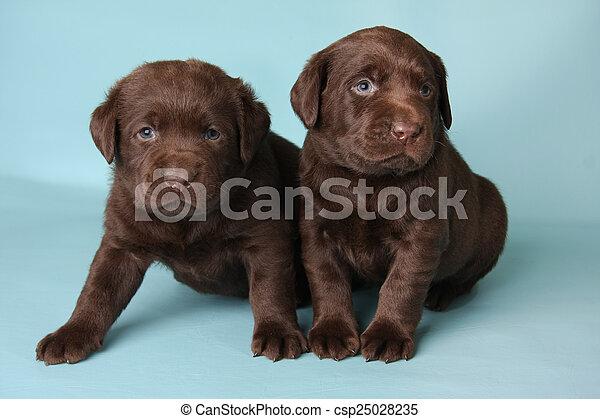 Labrador Puppies Purebred Labrador Retriever Puppies On Blue