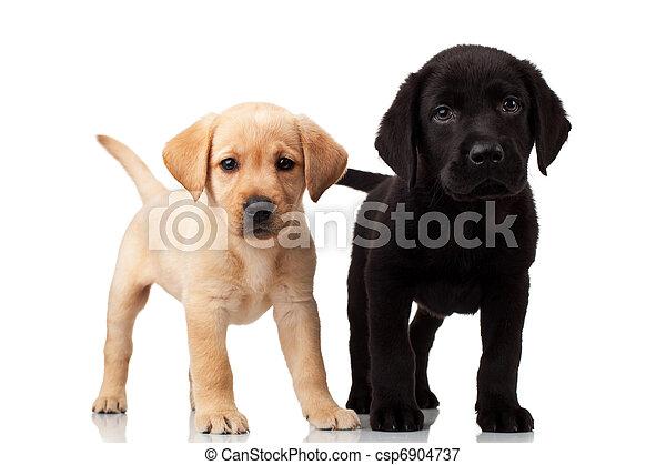 labrador, reizend, zwei, hundebabys - csp6904737