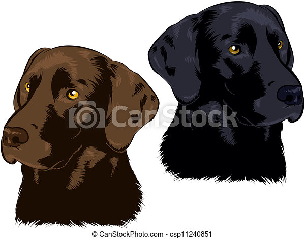 Labrador Retriever - csp11240851