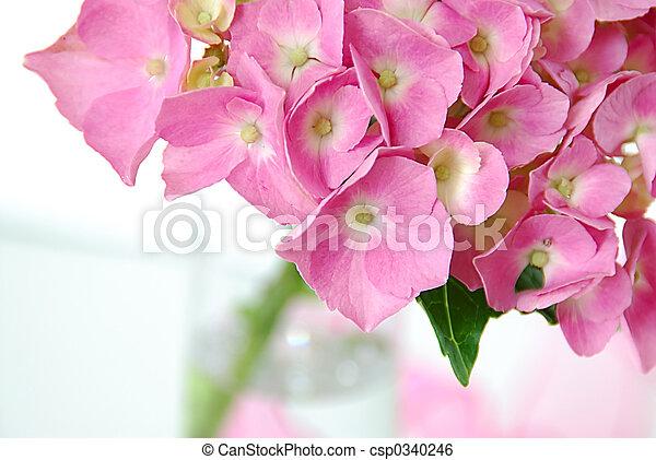 lacecap, hortensia - csp0340246
