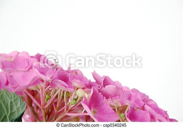lacecap, hortensia, insecte - csp0340245