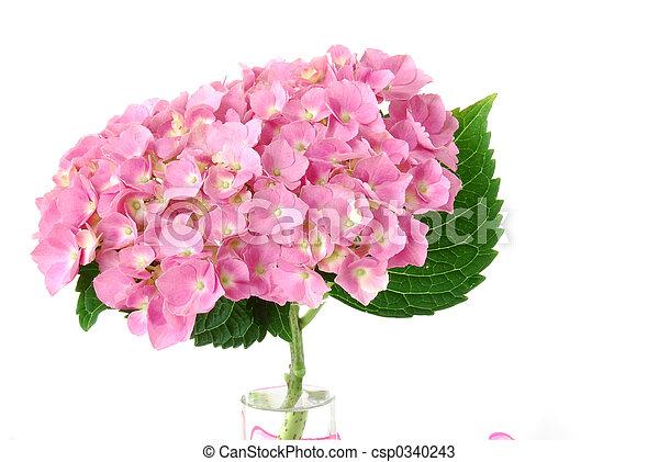 lacecap, hortensia - csp0340243
