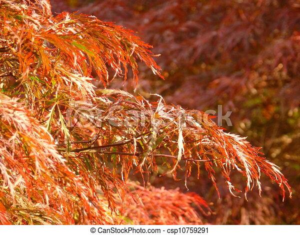 Laceleaf Japanese Maple Sunlit Leaves Of Weeping Laceleaf Japanese