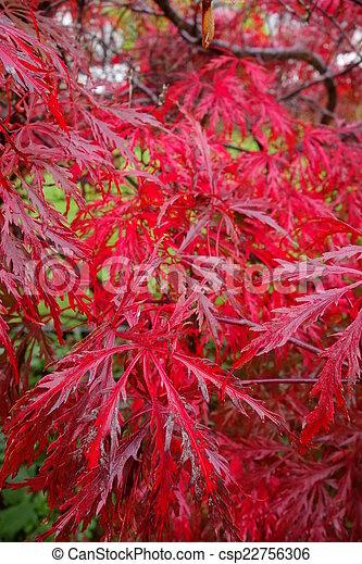 Laceleaf Japanese Maple - csp22756306