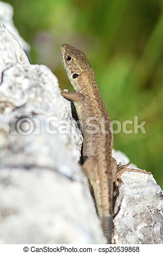 lacerta viridis  juvenile  - csp20539868
