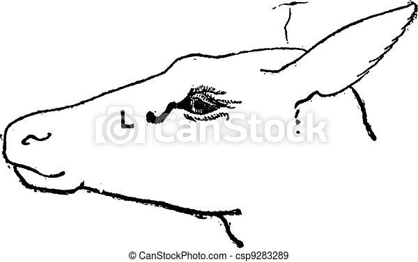 Lacrimal Sac of a Deer, vintage engraving - csp9283289