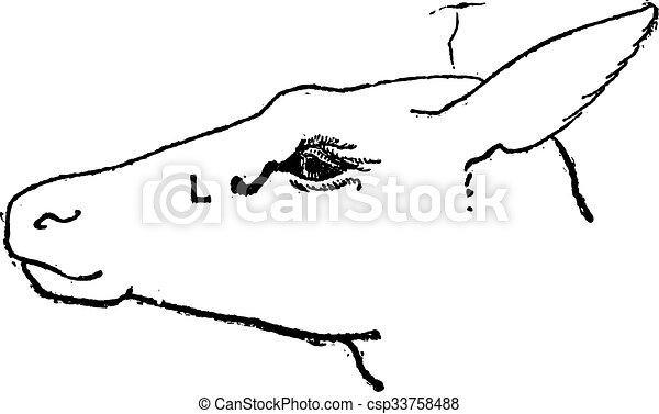 Lacrimal Sac of a Deer, vintage engraving - csp33758488