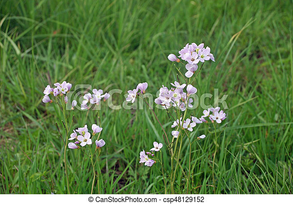 Ladies Smock Flower Group Of Pink Ladies Smock Cardamine Pratensis