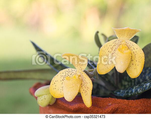 Lady Slipper Orchid Paphiopedilum - csp35321473