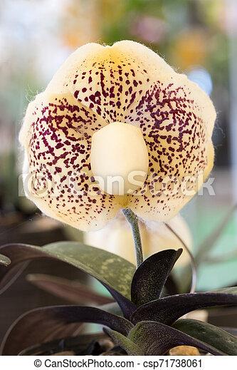 Lady Slipper Orchid Paphiopedilum. - csp71738061