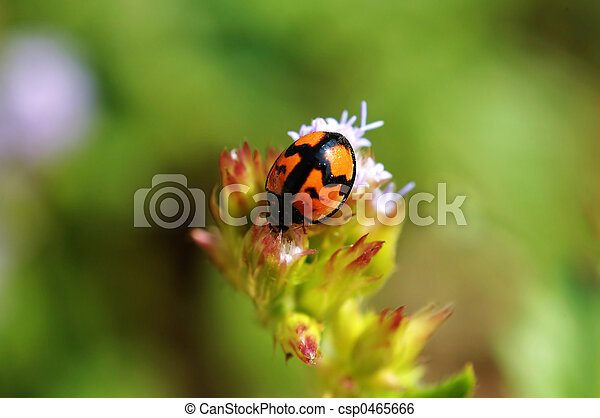 Ladybird on flower - csp0465666