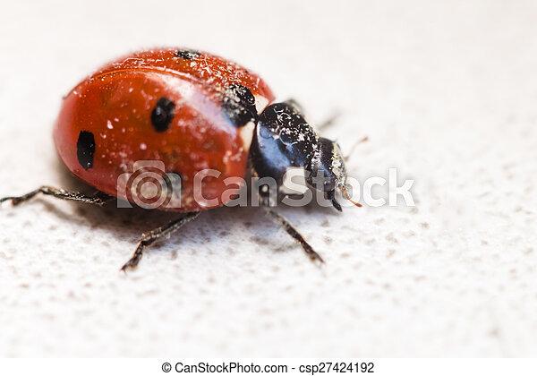 ladybug after hibernation close up - csp27424192