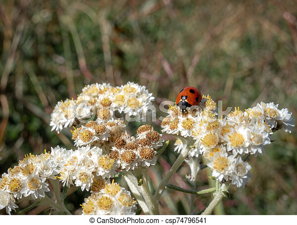 Ladybug on a Flower - csp74796541