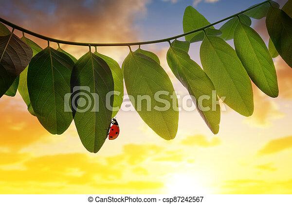 Ladybug on spring leaf of Acacia tree at sunset. - csp87242567