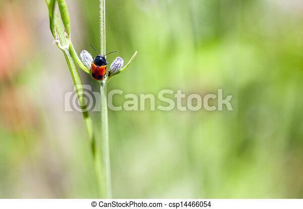 ladybug - csp14466054