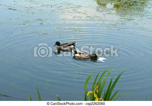 Patos en el lago - csp2262060