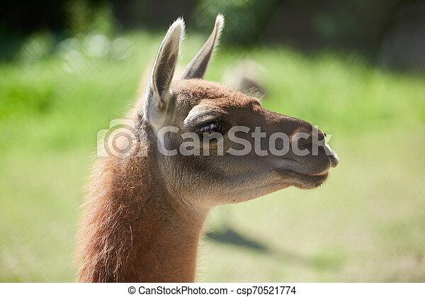 Lama guanicoe close up view - csp70521774