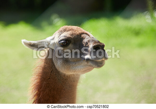 Lama guanicoe close up view - csp70521802