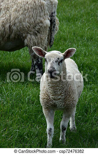 Lamb With Black Speckles On His Face in England - csp72476382