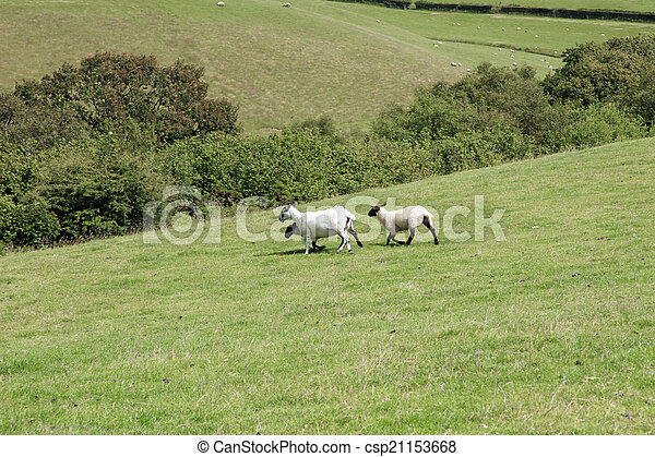 Lambs and ewe sheep play - csp21153668