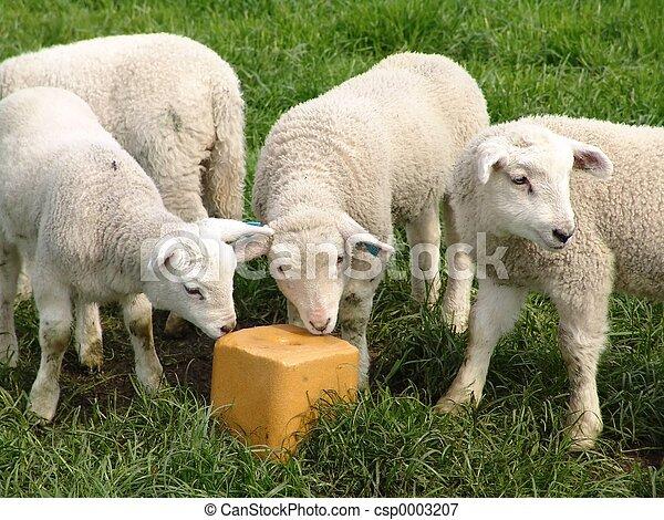 Lambs - csp0003207