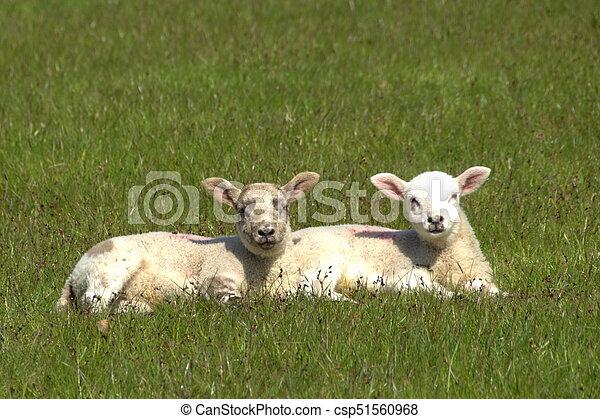 Lambs - csp51560968