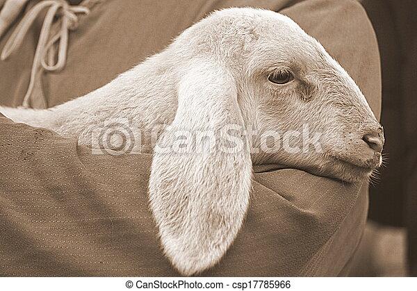 lamm, fåraherde - csp17785966