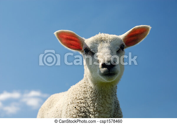 lamm, fjäder - csp1578460